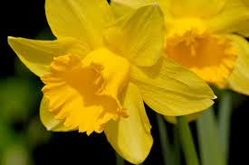 March Birth Flower